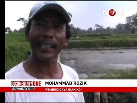 DOCUMENTARY ONE SURABAYA: Potensi Budi Daya Ikan Hias Kediri - tvOne Surabaya