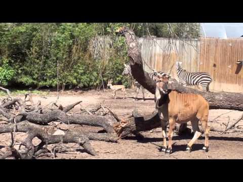 Running Zebras and Dorcas Gazelle