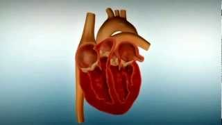 Herz Aufbau und Funktion (Basiswissen)