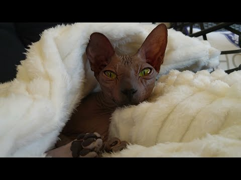 Sphynx cats - sleeping beauty / DonSphynx / 4K