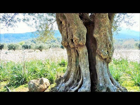 The Very Old Olive Trees of Lesvos island in Greece - Episode 1