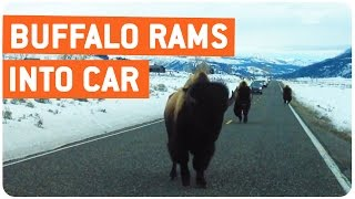 Buffalo Rams Into Car | Slowest Animal Attack