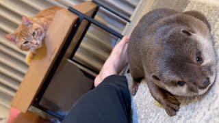 カワウソさくら 猫に見下され続けるカワウソ otter that keeps being looked down on by cat