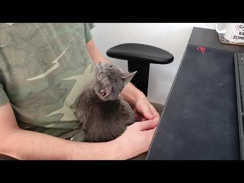 Lugus korat kitten
