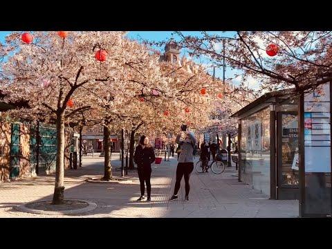 Masthugget, Gothenburg, Sweden. Virtual Walk Among Cherry Blossom And Busy Streets (2:a Långgatan)