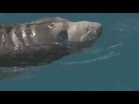 Dolphins Help Young Seal
