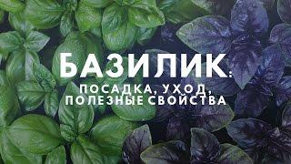 видео Базилик: полезные свойства растения и его применение в кулинарии и народной медицине