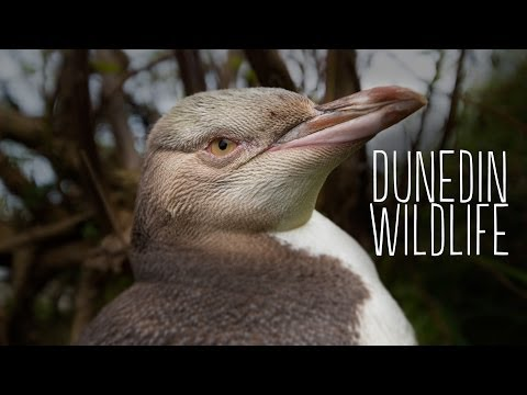 Victoria Sturt   Wildlife   Insiders Dunedin