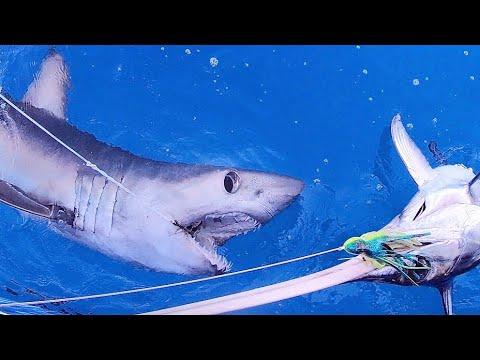 Longfin Mako Shark Attacks Swordfish Off Islamorada