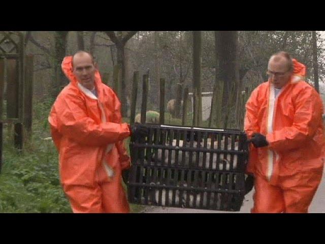 В Нидерландах уничтожены 150 тысяч кур из-за птичьего гриппа