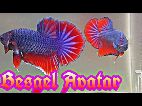Ikan Cupang Besgel Avatar Youtube