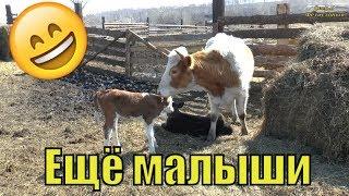 Жасмин Отелилась. Странная кошка.Когда стричь овец. Как найти видео. Ходунки. // Семья Фетистовых