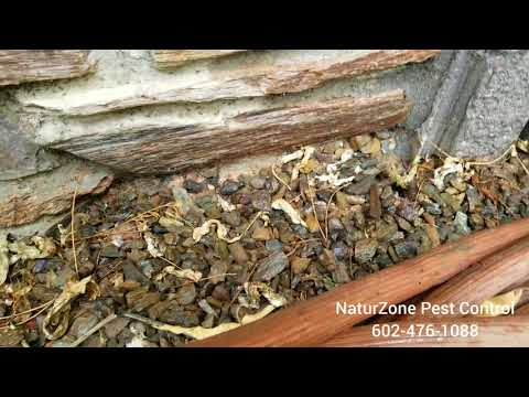 Ants Run From Termite Treatment! - NaturZone Pest Control - Scottsdale Termites