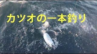 貴重水中映像 カツオの1本釣り 湘南沖・鈴清丸 カツオクジラ 検索動画 17