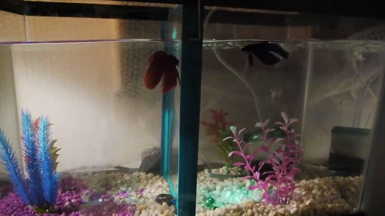 10 gallon multiple community betta aquarium tank with two for Multiple betta fish tank