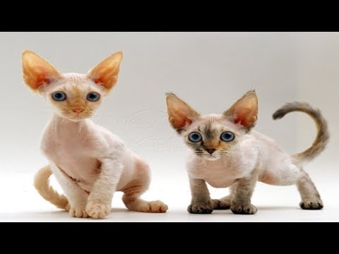Top 13 Beautiful devon rex Cat breeders Photos