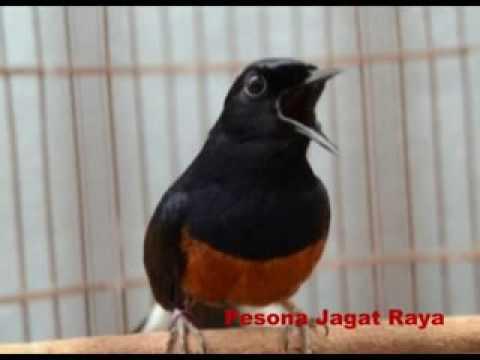Download  MP3 Suara Burung Murai Batu Medan Ekor Panjang Full Isian