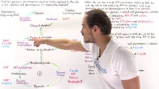 Reciprocal Regulation of Gluconeogenesis and Glycolysis (Part II)