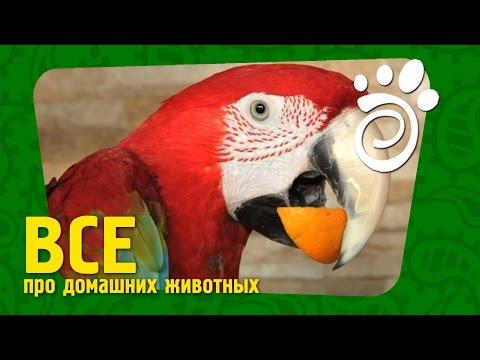 Сравниваем Попугаев. (Часть Первая) Все О Домашних Животных