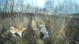 Охота на барсука с молодыми западно сибирскими лайками