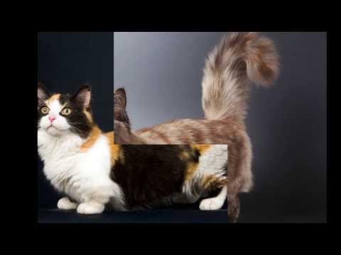 Munchkin cat Cat Breed video