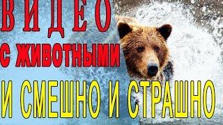 Прикольные видео с дикими животными. Встреча с медведем, волком. Прикольные моменты. Снятое на видео