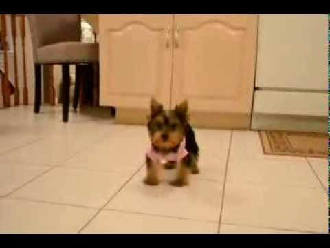 Female Toy Yorkie 12 Weeks Old Youtube