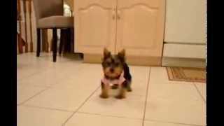 Female Toy Yorkie, 12 Weeks Old.