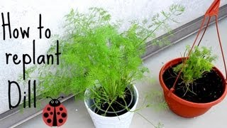 How to replant herbs (dill) - inspired by