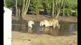 Tijger wilt wat @ Olmense Zoo (2/2)