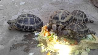 Среднеазиатская черепаха (Testudo horsfieldii)