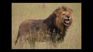 Lions & Hyena Standoff Kenya New