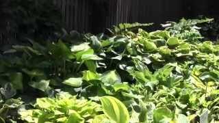 Hosta Garden Companions Video 2014