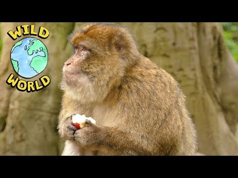 Wild World - Barbary Ape | ZeeKay