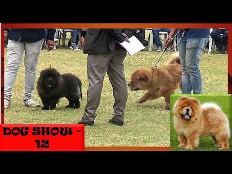 अजमेर डॉग शो Ajmer Dog Show, Chow Chow Winner ( Rajasthan , India ) KC Show