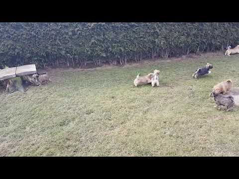Vajrapasha Lhasa Apso R-puppies, Tibetan Terrier D-puppies