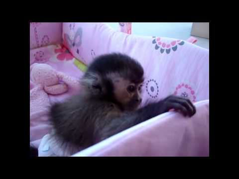 смешное видео щекочут обезьянку