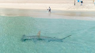 Giant Hammerhead Sharks Hunting Blacktip Sharks 3