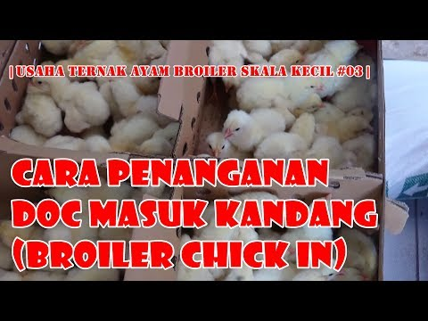 Cara Menangani DOC Masuk Kandang | Broiler Chick In | Usaha Ternak Broiler Skala Kecil #03| |