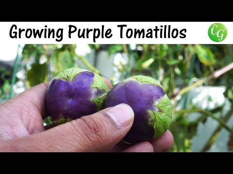 Growing Purple Tomatillos - How To Grow Purple Tomatillos In Containers