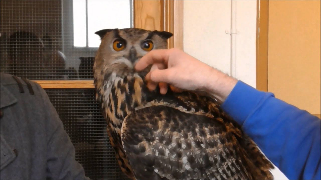 Keeping Owls as Pets: Yes, It's Legal | PetHelpful