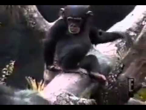 Monkey faints by smelling its own poo