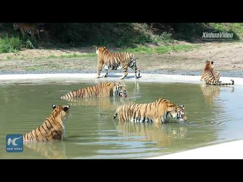 Siberian Tigers Train To Survive In The Wild In Heilongjiang, China