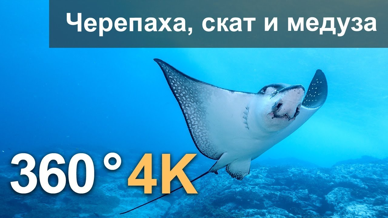 360°, Дайвинг с черепахой, скатом и медузой. 4К подводное видео. Русская озвучка