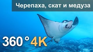 360°, Diving with turtle, stingray and jellyfish. 4K underwater video. Russian voice over