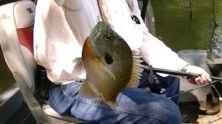 fast bream catfish action fishing the river