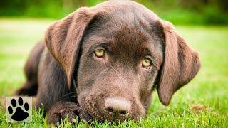 Породы собак - Лабрадор ретривер. [Labrador Retriever (Dog Breed)]
