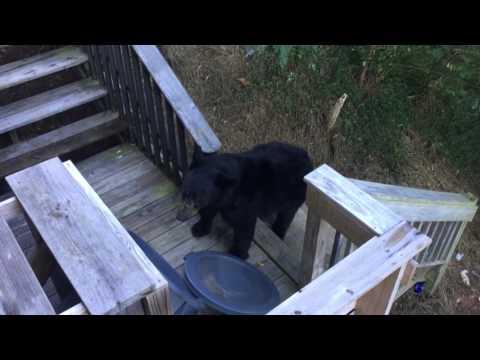 Bear at Cabin in Gatlinburg, TN