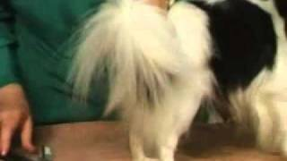 Dog Grooming - Ways To Groom A Papillon's Coat