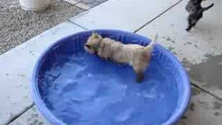 Cairn Terrier, Starry Night, Enjoying The Pool